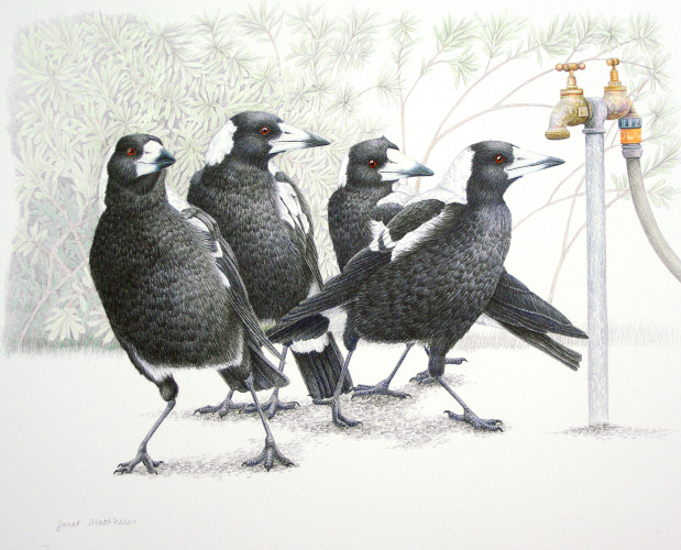 Magpies -Is there water