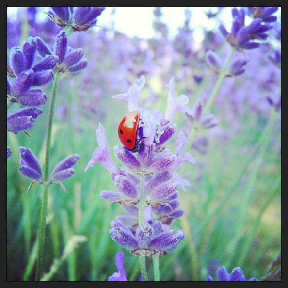 ladybugs (1)