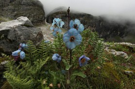 Valley of Flowers National Park in Chamoli district : Blue poppies