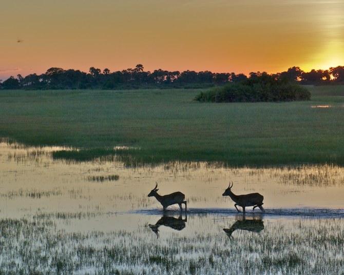 Red Lechwes at Tubu Tree Camp at sunset