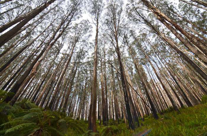 Marysville-Victoria-Regrown-Trees-Panoramic