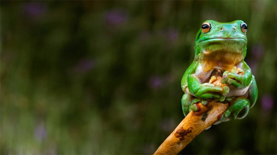 A frog clings to the tip of a branch, Adelaide, Australia 20140619