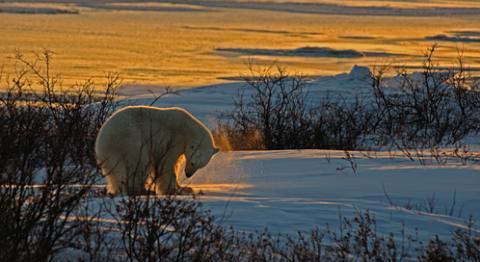 polar-bear-william-bonilla-dpc
