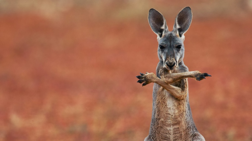A red kangaroo in the Sturt Stony Desert, Australia 20140126