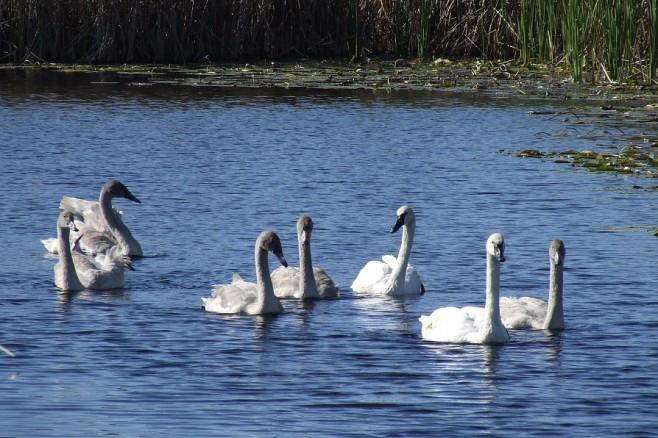 Seven Swans a Swimming… | per mare...
