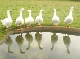6geese
