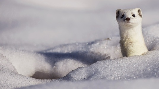 A stoat displaying its winter coat 20141212