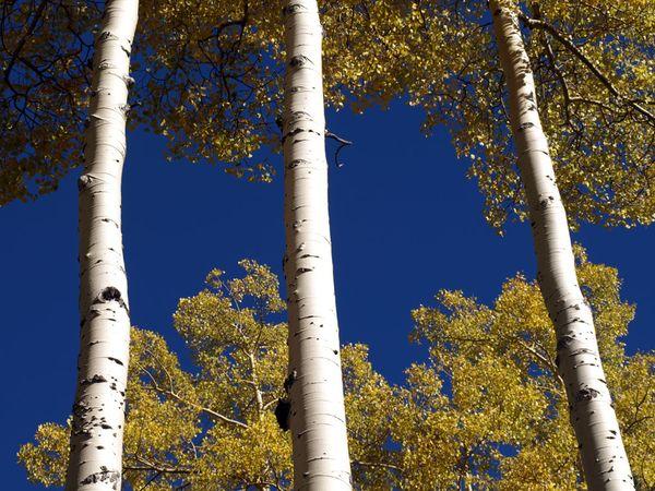 aspen-trees_8479_600x450