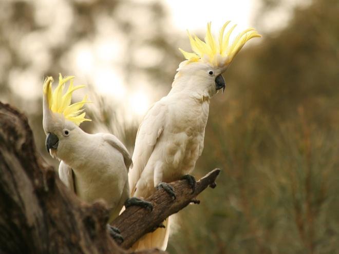 Sulphur-crested Cockatoo, NSW   http://tilcheff.blogspot.com/