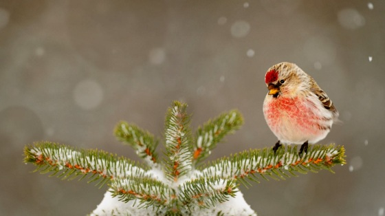 Common redpoll in Greater Sudbury, Ontario, Canada 20131217a