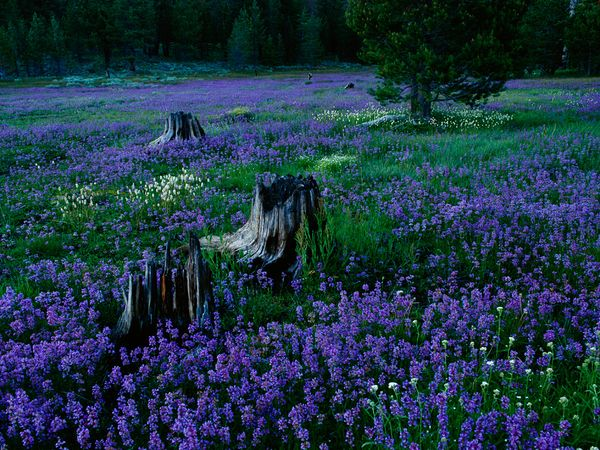 penstemons-tahoe-national-forest_42007_600x450