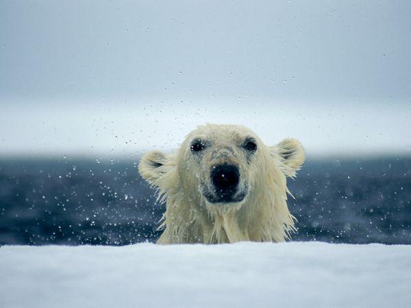 polar-bear-wet_667_600x450