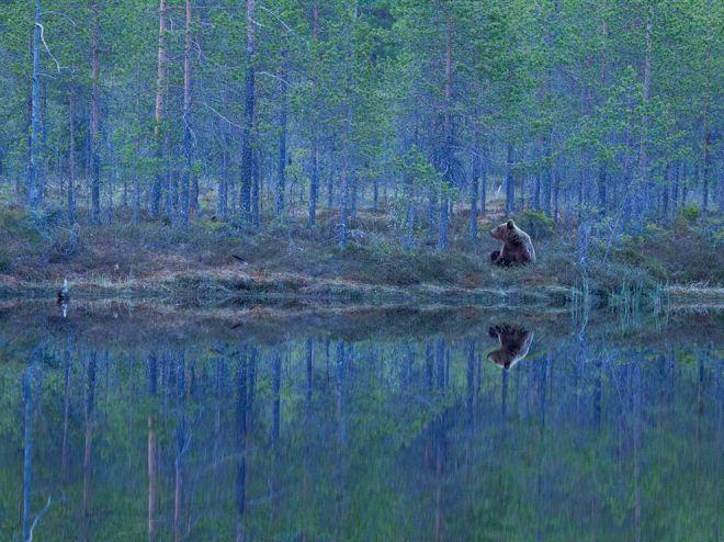 bear-finland-forest_62972_990x742