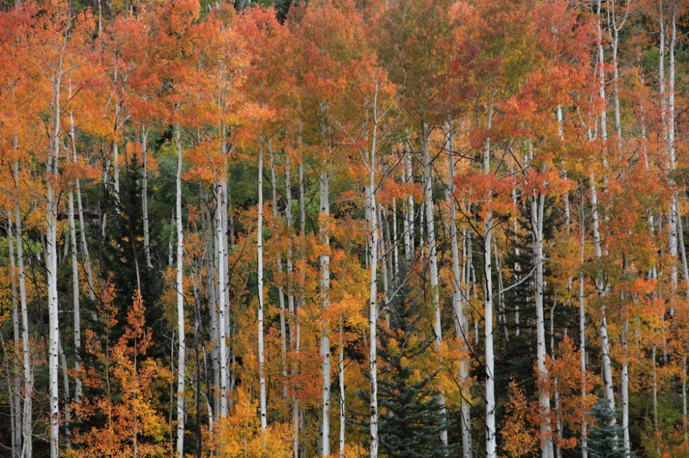 aspens_rouges_