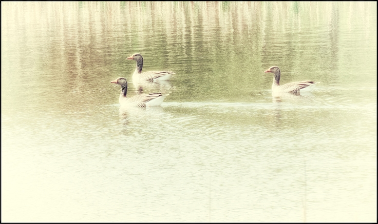 Geese-1