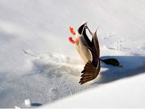 DuckCrashLanding