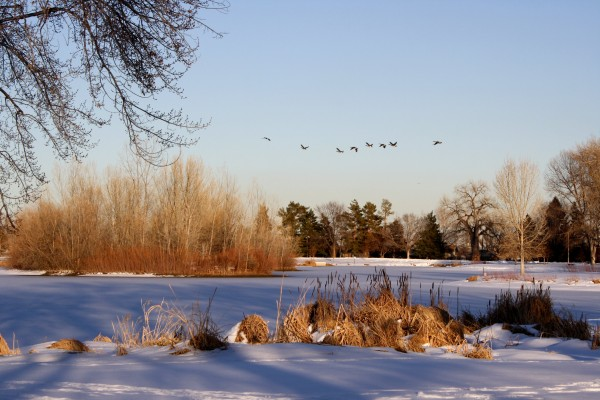 geese-flying-over-frozen-lake-600x400