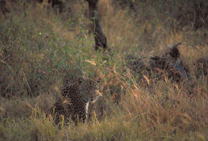 african-leopard-panthera-pardus-725x492