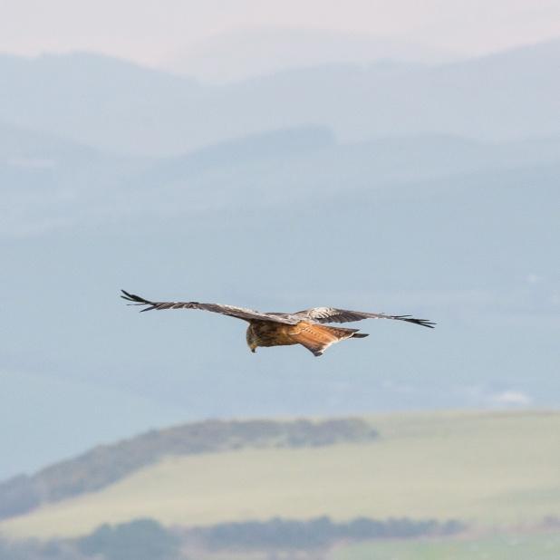 Red kite near Aberystwyth, Ceredigion.