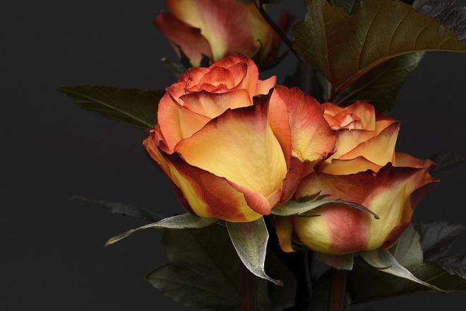 rose-3063284_960_720